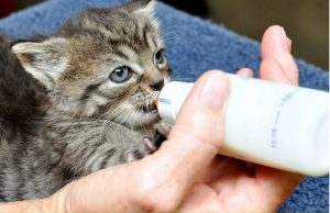 Bottle feeding orphaned kittens is so rewarding and literally saves their lives.